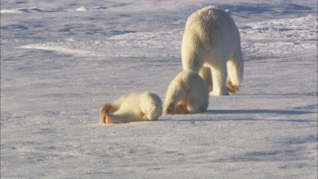 Polar bear cubs roll on sea ice in Svalbard, Arctic Norway.