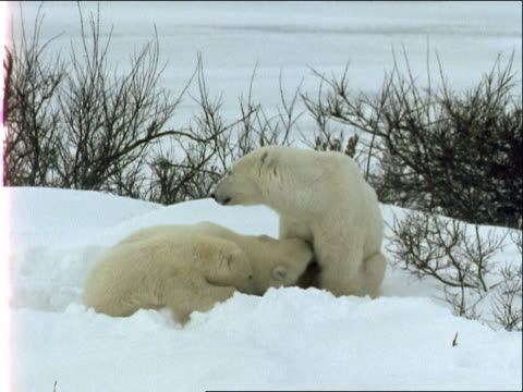 polar bear cubs start to suckle their mother but she moves away. - 水の形態点の映像素材/bロール