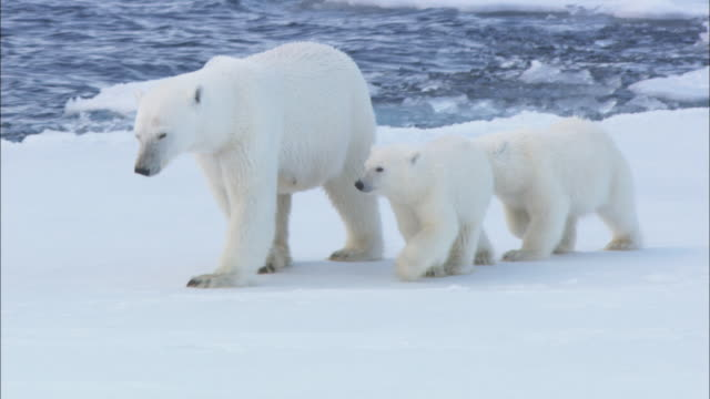 polar bear cubs stay close to their mother as she walks along the edge of sea ice in the arctic. - clima polare video stock e b–roll