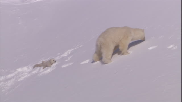 polar bear cubs struggle to follow their mother up a snowy slope on svalbard, norway. - slippery stock videos & royalty-free footage