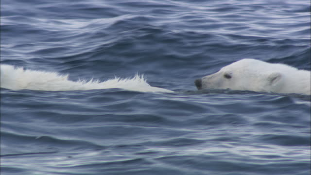 Polar bear cubs swim in the Arctic Ocean