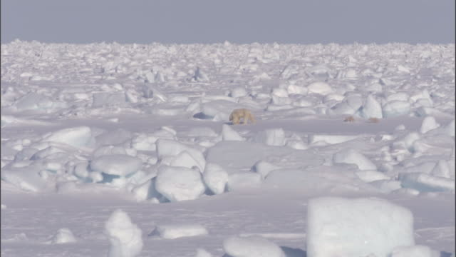 polar bear cubs trail behind their mother on an ice sheet in svalbard, norway. - ice sheet stock videos and b-roll footage