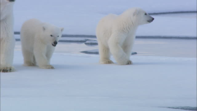 Polar bear cubs trot along on sea ice beside their mother.