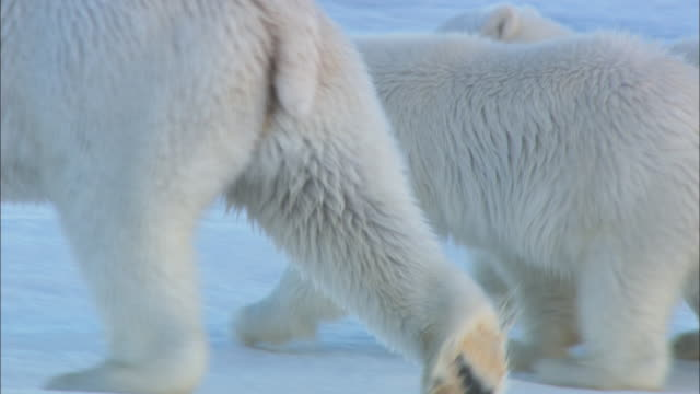 polar bear cubs walk on the sea ice with their mother. - raubtierjunges stock-videos und b-roll-filmmaterial