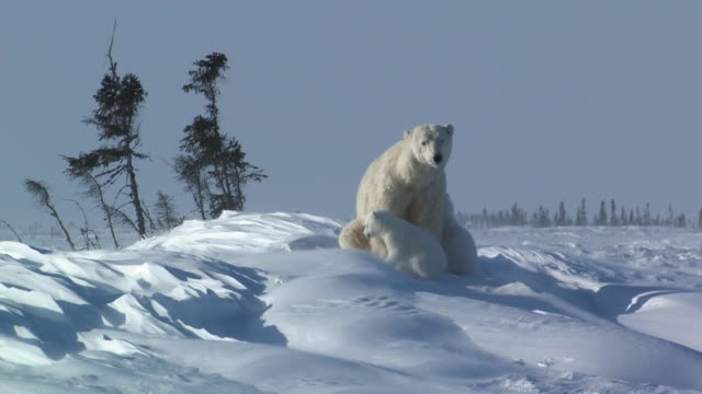polar bear cubs with mama bear in the arctic - animal family stock videos & royalty-free footage
