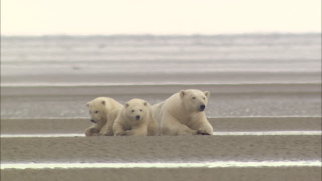 polar bear cubs with their mom are resting on the mud in the north pole - bedrohte tierart stock-videos und b-roll-filmmaterial