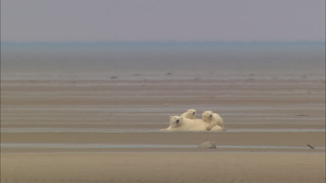 stockvideo's en b-roll-footage met polar bear cubs with their mom looking far away on the mud in the north pole - grond
