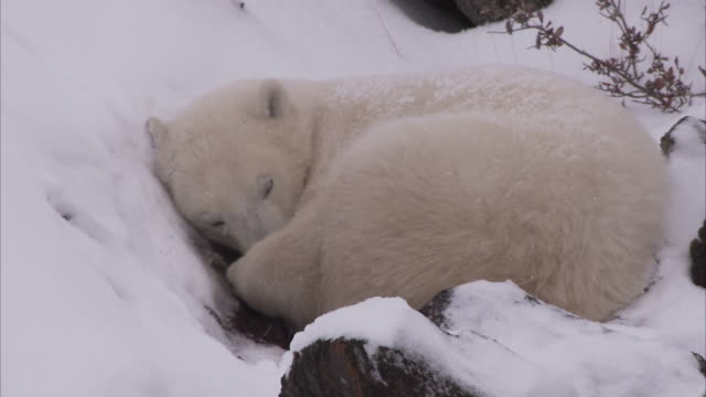 polar bear curled up in snow, churchill, manitoba, canada - resting stock videos & royalty-free footage
