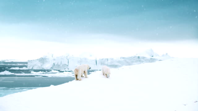 stockvideo's en b-roll-footage met polar bear day - arctis