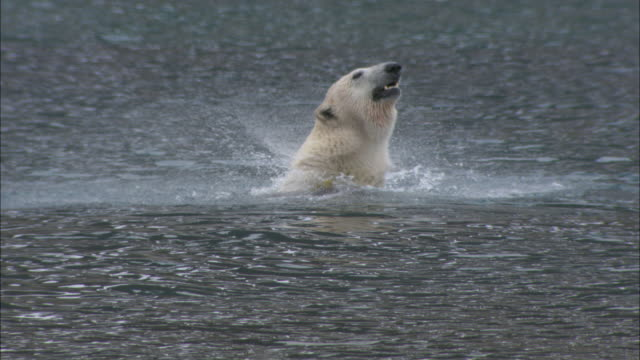 A polar bear dives for seaweed and then eats it in the shallows near Svalbard, Arctic Norway.