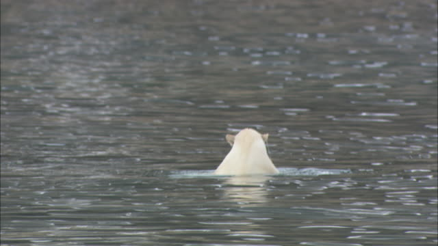 A polar bear dives for seaweed in Svalbard, Arctic Norway.