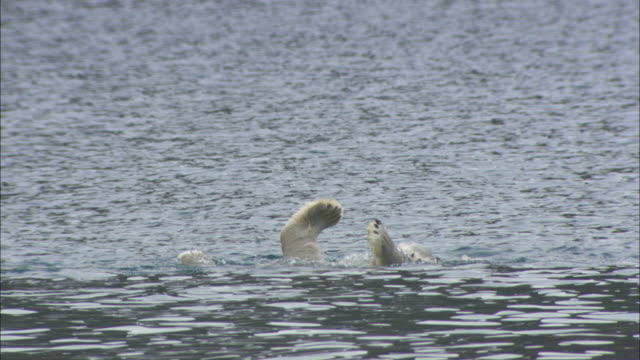 A polar bear dives for seaweed in the shallows near Svalbard, Arctic Norway.
