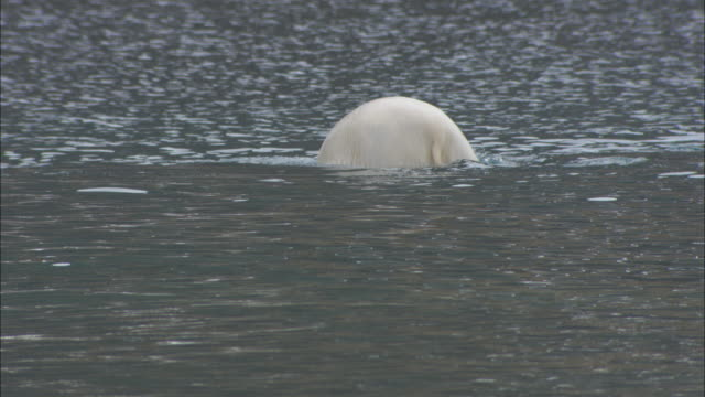 A polar bear dives for seaweed in the shallows near Svalbard, Norway.