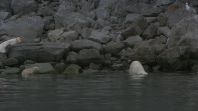 a polar bear dives into water near svalbard, arctic norway. - svalbard islands stock videos & royalty-free footage
