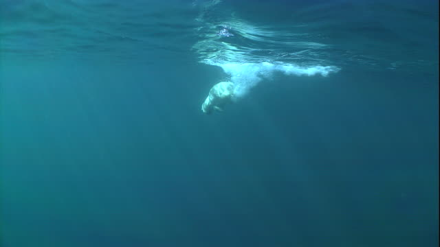 a polar bear dives underwater. - arctic stock videos & royalty-free footage