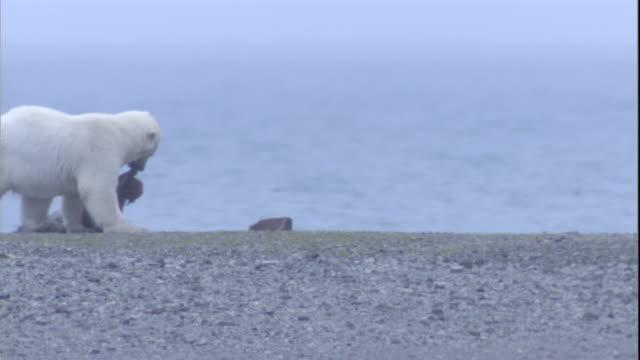 A polar bear drags a walrus carcass across beach. Available in HD.