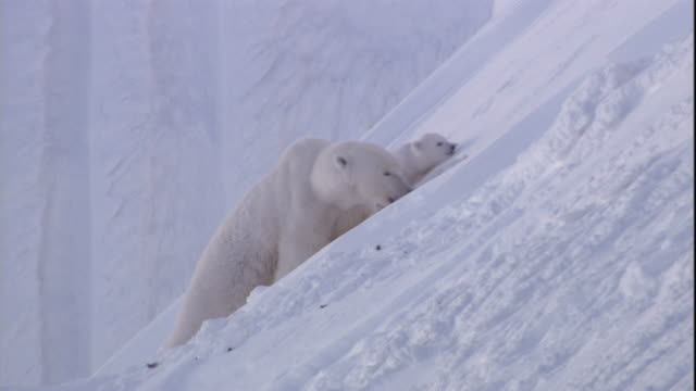 A polar bear drags its cub down a snowy slope on Svalbard, Norway.