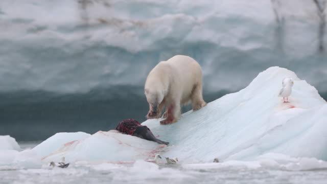 polar bear eating a harp seal - dead animal stock videos & royalty-free footage