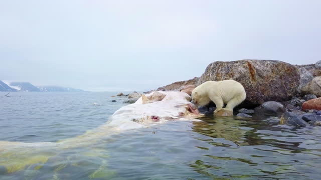 ws polar bear eating blubber on rotting sperm whale carcase - pottwal stock-videos und b-roll-filmmaterial