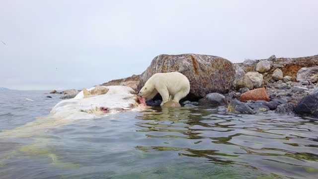 ws polar bear eating blubber on rotting sperm whale carcase - sperm whale stock videos & royalty-free footage