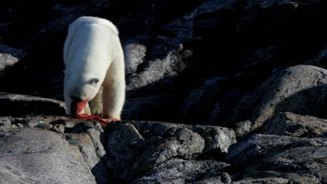vidéos et rushes de ours polaire manger, vue de devant - blood