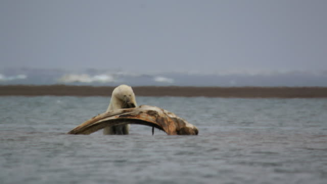 polar bear eating meat from whale bone on the ocean in kaktovik, alaska usa - seagull stock videos & royalty-free footage