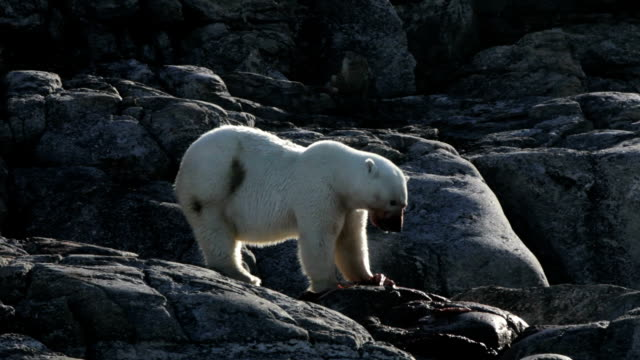 polar bear essen - robbe stock-videos und b-roll-filmmaterial