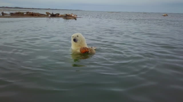 polar bear eating whale meat in the sea, north pole - cetacea stock videos & royalty-free footage