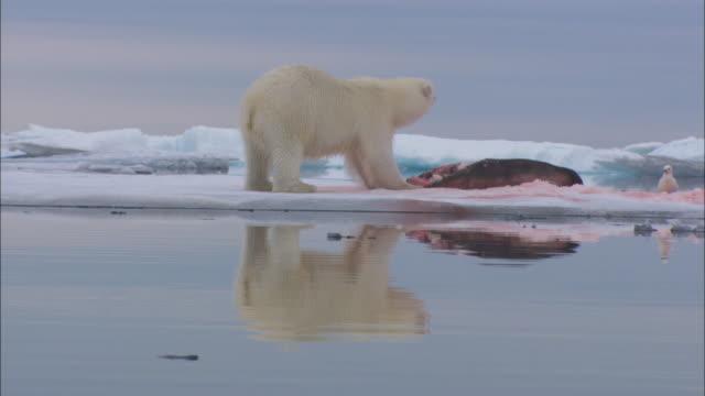 A polar bear eats a seal on sea ice near Svalbard, Arctic Norway.