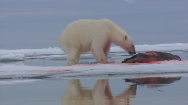 A polar bear eats a seal on the sea ice of Svalbard, Arctic Norway.