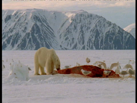 polar bear eats beluga carcass surrounded by gulls, grise fjord, canada - aas fressen stock-videos und b-roll-filmmaterial