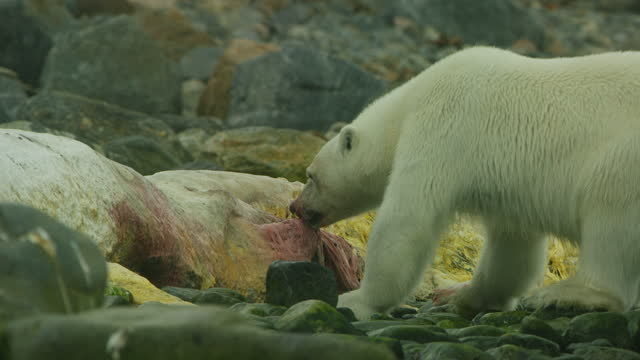 polar bear eats blubber from rotting sperm whale carcase with second bear watching - スヴァールバル諸島およびヤンマイエン島点の映像素材/bロール