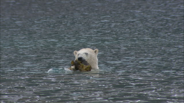 a polar bear eats seaweed in the shallows near svalbard, arctic norway. - seaweed stock videos & royalty-free footage