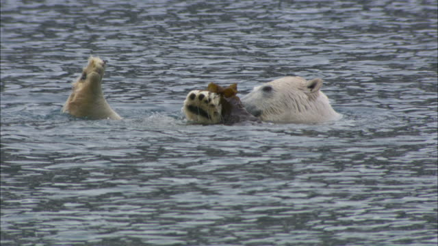 A polar bear eats seaweed in the shallows near Svalbard, Arctic Norway.
