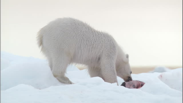 a polar bear eats the carcass of a seal pup in svalbard, norway. - seals stock videos and b-roll footage