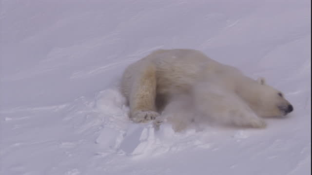 A polar bear emerges from its den in the snow on Svalbard, Norway.