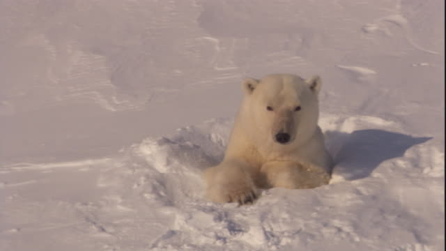 a polar bear emerges from its den on svalbard, norway. - höhle stock-videos und b-roll-filmmaterial