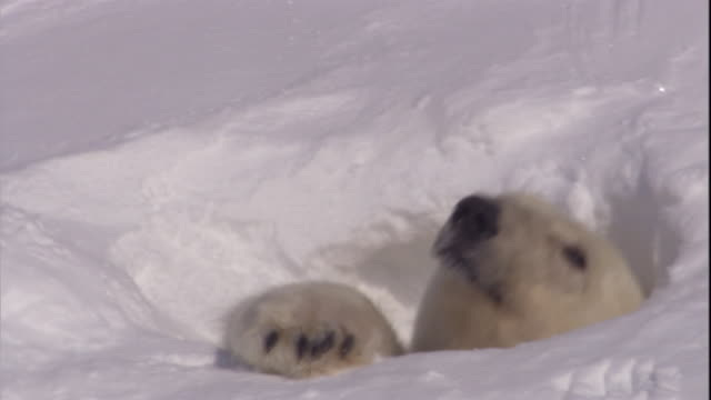 a polar bear emerges from its den on svalbard, norway. - bbc stock videos and b-roll footage