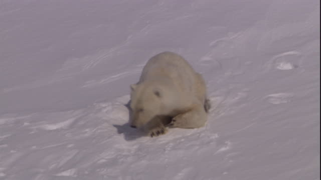 a polar bear emerges from its den on svalbard, norway. - loch stock-videos und b-roll-filmmaterial