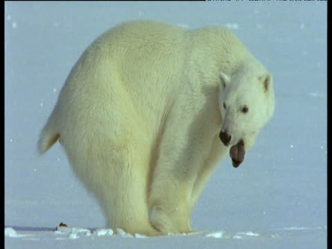 polar bear excretes onto snow then walks away, svalbard - defecating stock videos and b-roll footage