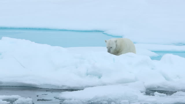 polar bear falls asleep on ice flow - polarklima stock-videos und b-roll-filmmaterial