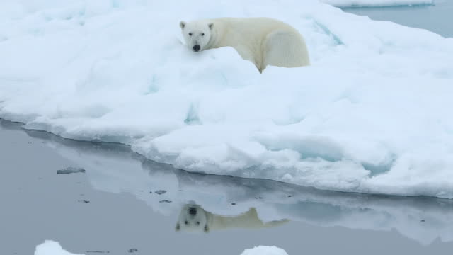 polar bear falls asleep on ice flow - resting stock videos & royalty-free footage