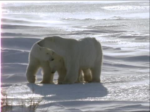 a polar bear family crosses a wind-swept icy tundra. - cub stock videos & royalty-free footage