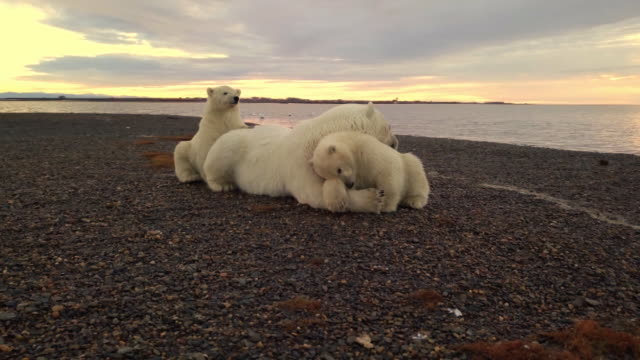 polar bear family near ocean in kakovik, alaska usa - animal family video stock e b–roll