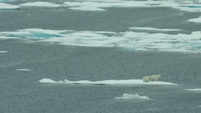 Polar Bear Family On Ice Floe In Arctic