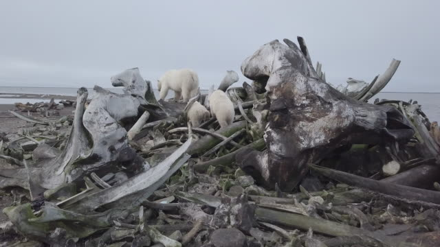 polar bear family passing through whale bone graveyard - bone stock videos & royalty-free footage