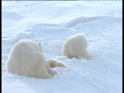 Polar bear family rest, cub backs out of hole in snow, Svalbard