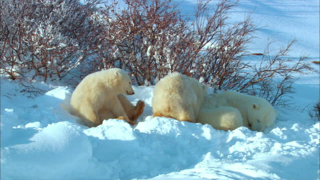 vidéos et rushes de polar bear family resting and sleeping peacefully on snowfield - famille d'animaux
