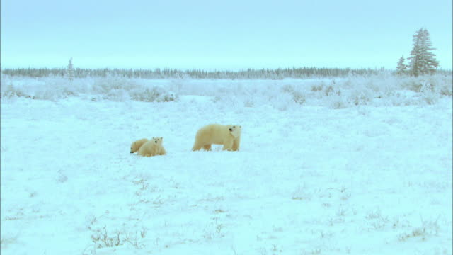 Polar bear family resting on snowfield