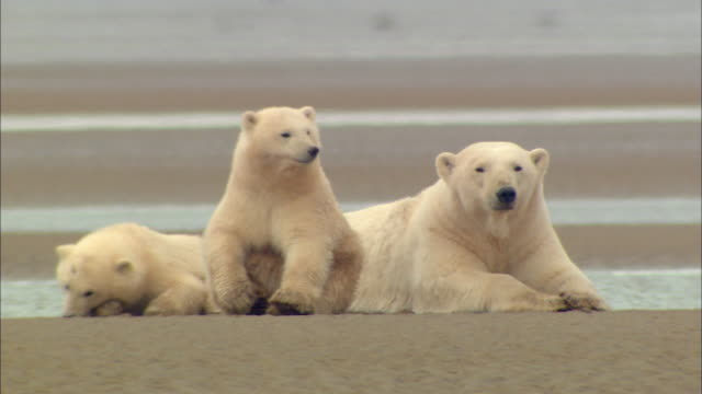 polar bear family resting peacefully on waterside - bär stock-videos und b-roll-filmmaterial